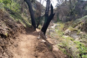 The newly built section of trail, passing between two trees.