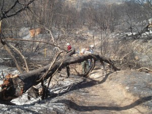 One of many trees fallen over the Upper Sycamore Canyon Trail