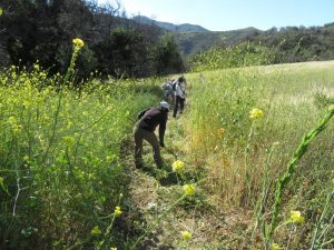 Clearing mustard on the Sin Nombre Trail